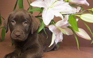 534038__chocolate-labrador-and-flowers_p