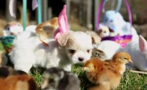 pour-paques-chiens-poussins-et-lapins-cohabitent_84888_w696